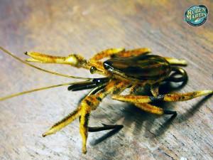 Pancora crab